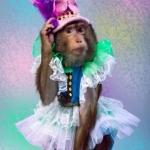 дрессированные обезьянки, шоу обезьян, дрессированная обезьянка