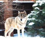 Аренда волка для фотосессии в Москве