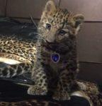 Аренда леопарда для фотосессии