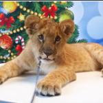 Аренда Льва для фотосессии